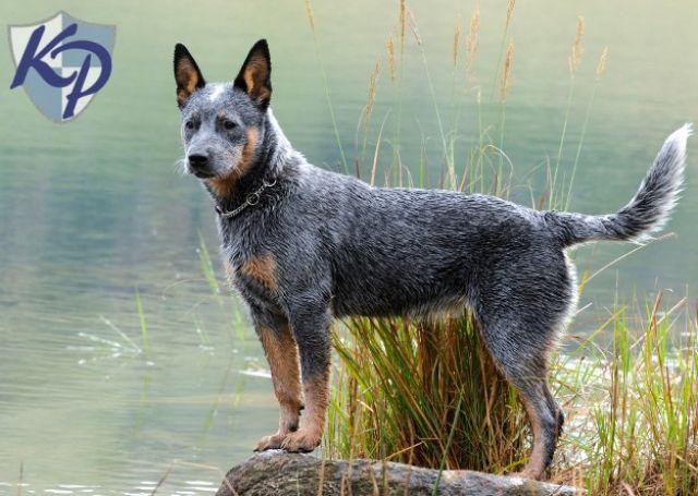 pastor ganadero australiano  los 10 perros m u00e1s inteligentes
